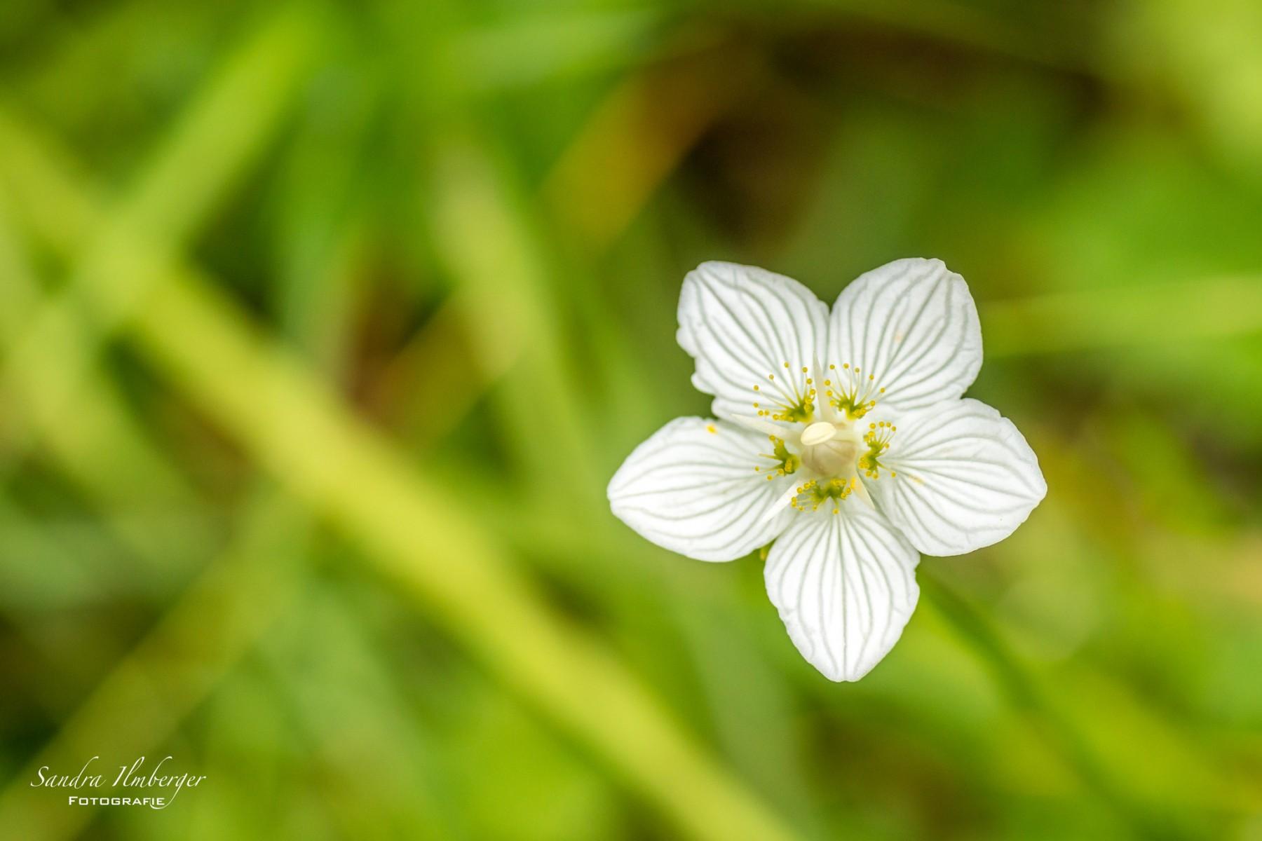 Weisses Sumpf-Herzblatt
