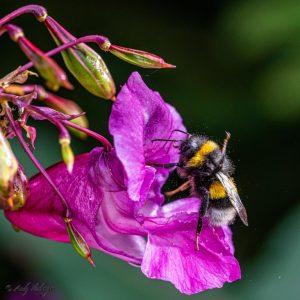 Dunkle Erdhummel auf einer Blüte (Foto: Andy Ilmberger)