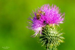 Honigbiene auf einer Distelblüte