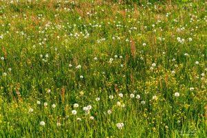 Wildblumenwiesen erhalten den Lebensraum von Bienen und anderen Nützlingen